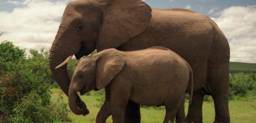 Elefante africano con su cría