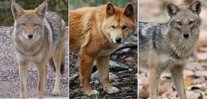 Coyote, dingo y chacal