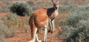 Canguro rojo macho
