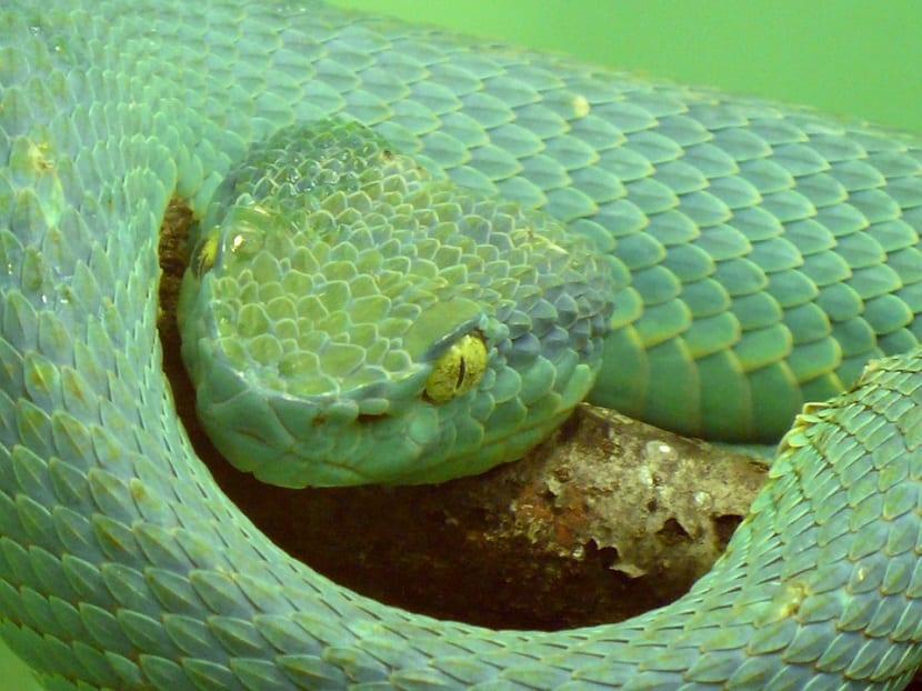 Serpiente víbora
