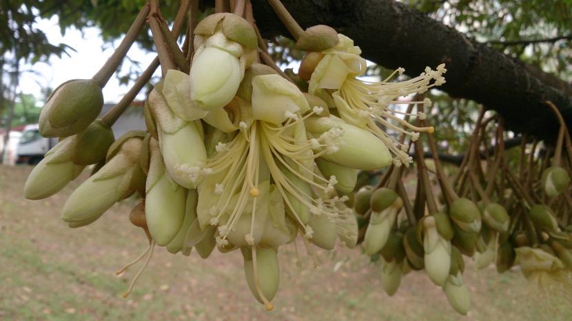 Flores del Durián