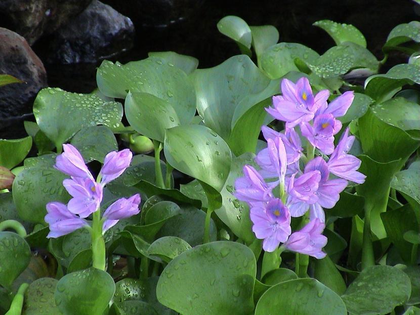 planta acuática del amazonas