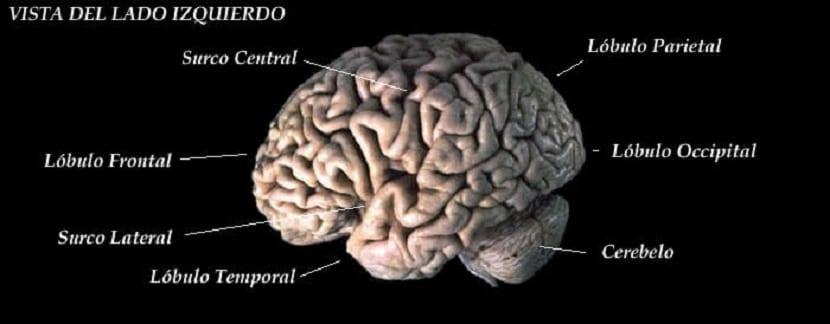 Partes del cerebro